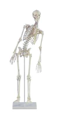 "Miniature-Skeleton ""Fred"" with movable spine and muscle markings_0"